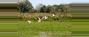 Costa Rica Refugio de Vida Silvestre Caño Negro