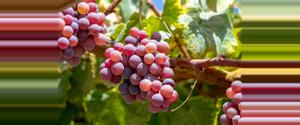 Peru Queirolo Vineyard