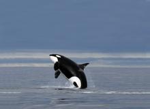 Orca, Ballena Asesina