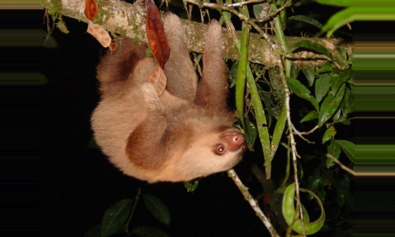 The Two Toed Sloth Costa Rica
