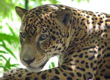 Tigre (Jaguar)
