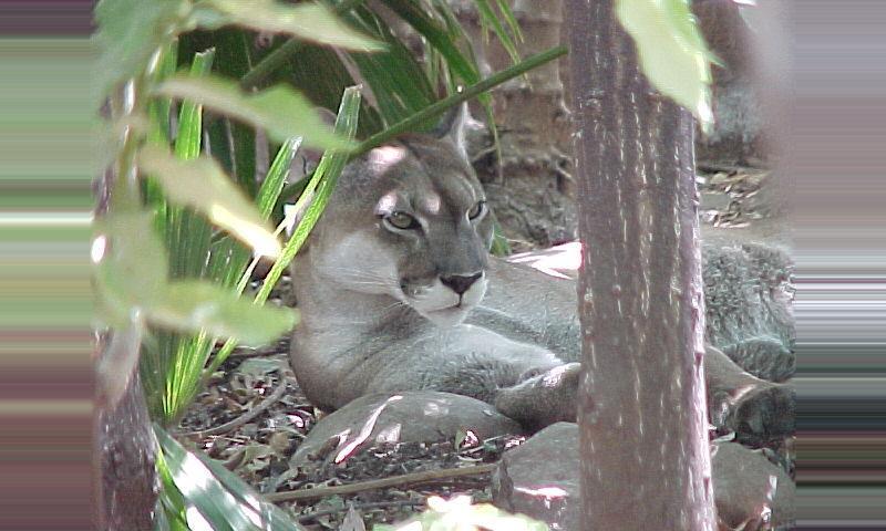 Puma (León)