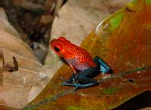 Blue-jeans Frog or Strawberry Poison-dart Frog