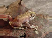 Common Tink Frog