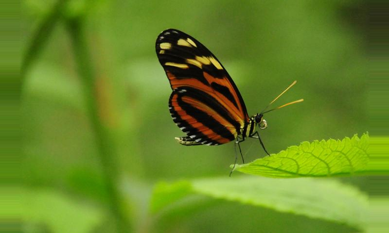 Spotted Longwing