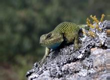Spiny Green Lizard