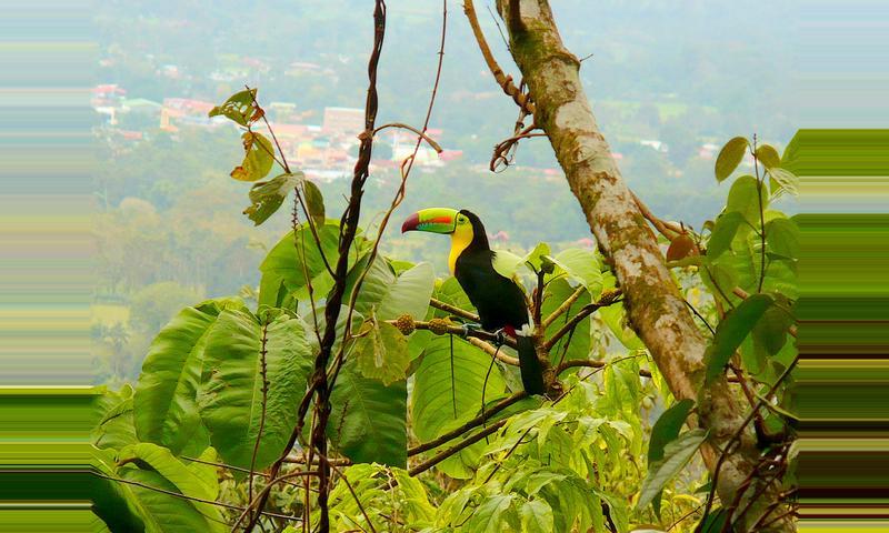 Tucán Pico Iris (Curré Negro)