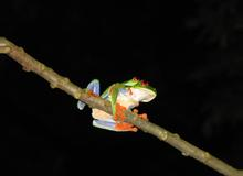 Red-Eyed Leaf (Tree) Frog