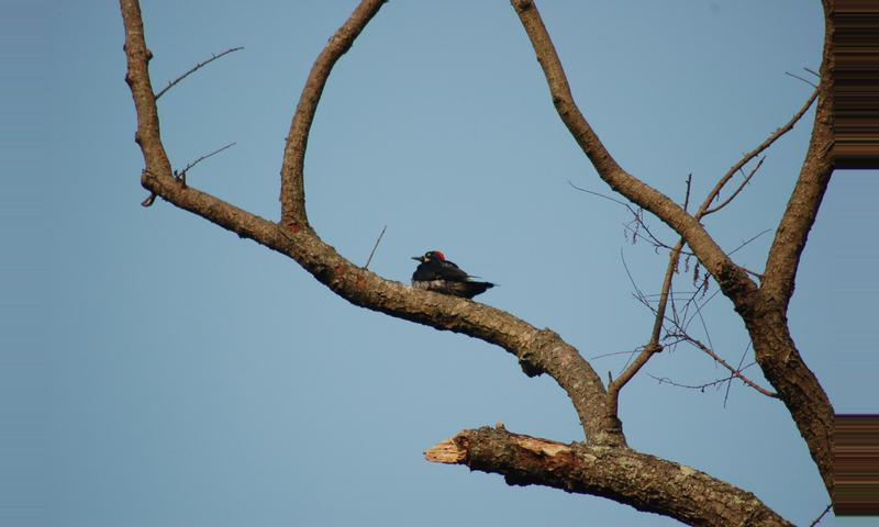 Cayala: Watch the Bushy-Crested Jay