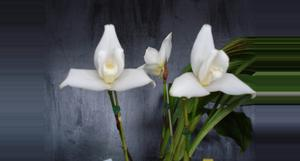 Guatemala Coban Orchid Tour