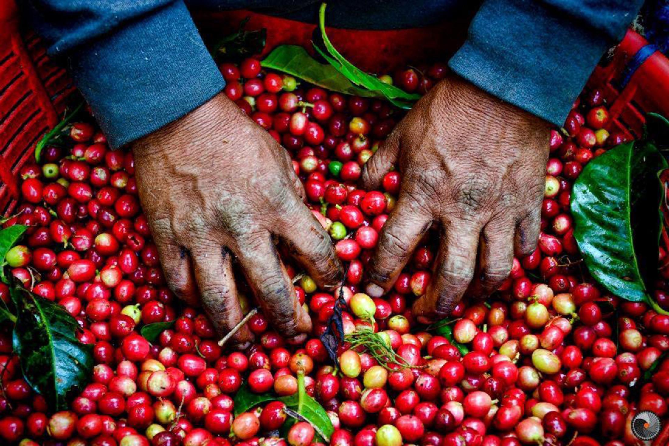 Cafe de Monteverde Coffee Tour