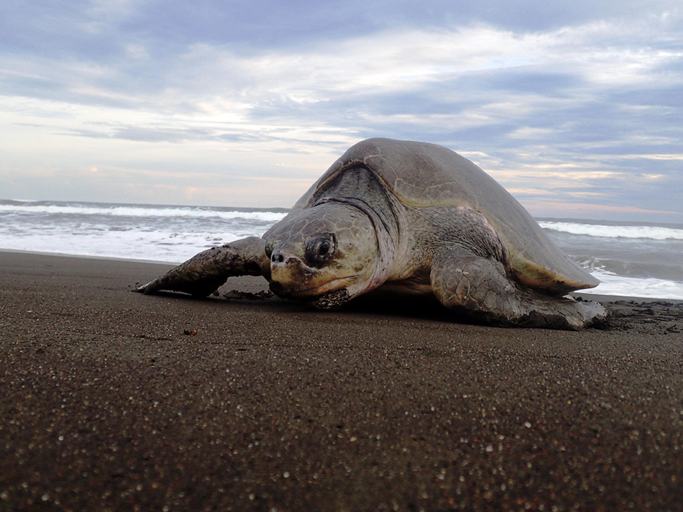Camaronal Beach Turtle Observation Tour