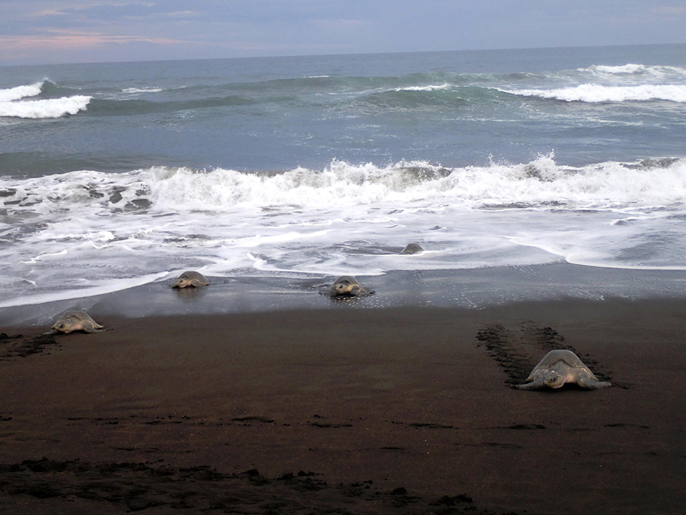 Camaronal Beach Turtle Observation Tour