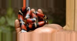 Costa Rica Volunteer at a Snake Breeding Project